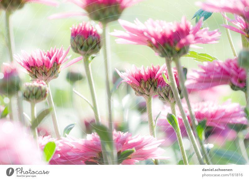 Hellgrünrosapastellblumen Blume rot Sommer Blüte Frühling hell Blütenknospen
