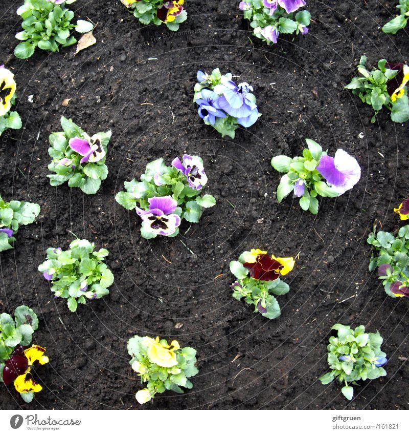 weh dem, der aus der reihe tanzt! Stiefmütterchen Garten Frühling Blume Blühend Blüte Gartenarbeit Gartenbau Beet Blumenbeet Pflanze Linie gerade Ordnung Erde