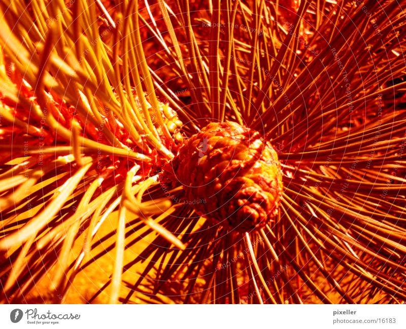 rote nadeln Baum Pflanze Stachel Makroaufnahme Tannennadel