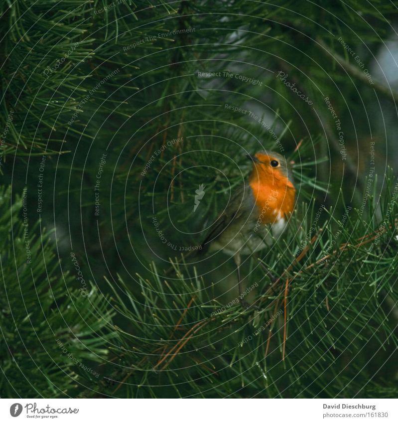 Wait & look Natur grün Baum Pflanze Farbe Tier Vogel orange Wildtier Feder Flügel Tiergesicht Schnabel Grünpflanze Tannennadel Singvögel