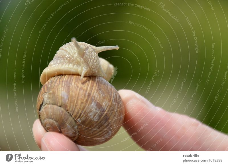 Schnecke kommt aus ihrem Haus das von einem Menschen in der Hand gehalten wird vor unscharfem Hintergrund Finger Umwelt Natur Tier 1 Erholung schleimig braun