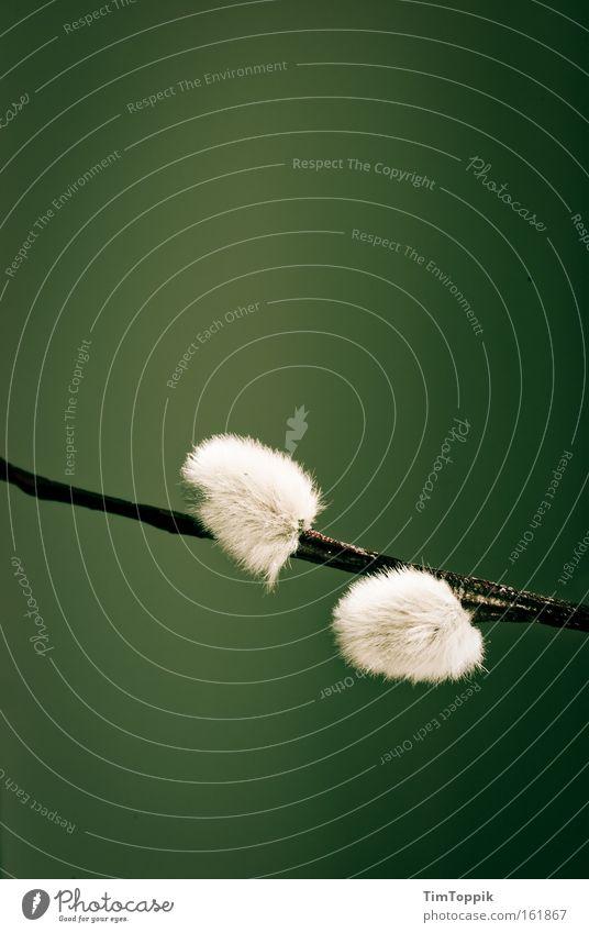 Pussy Willow Natur Pflanze Frühling Blume Blüte weich Weidenkätzchen Sal-Weide Pollen Flaum Quaste weidekätzchen palmweide Ostermontag Osterei Gedeckte Farben