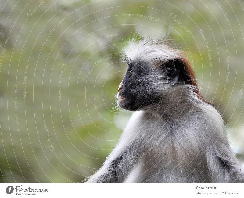 Plattnase grün ruhig Tier schwarz grau Haare & Frisuren Behaarung Wildtier sitzen warten beobachten Neugier Gelassenheit exotisch bewegungslos bizarr