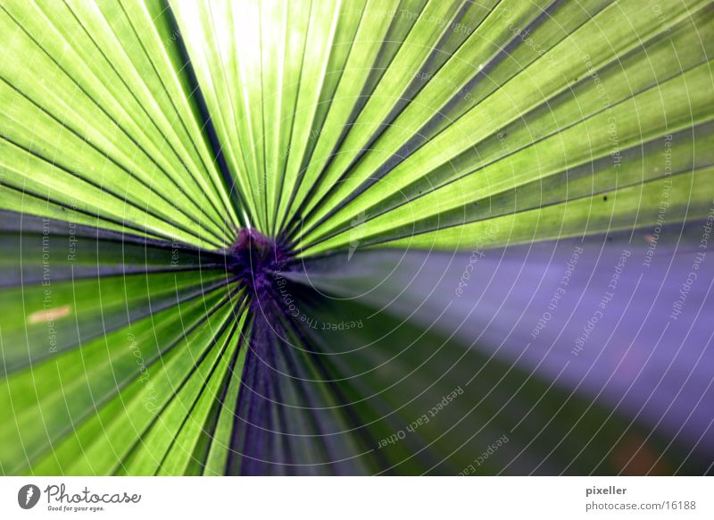los palmos Sonne grün Pflanze Sommer Ferien & Urlaub & Reisen Blatt violett Palme