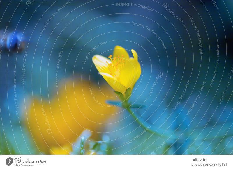 blume in blau Natur gelb Blüte Biene