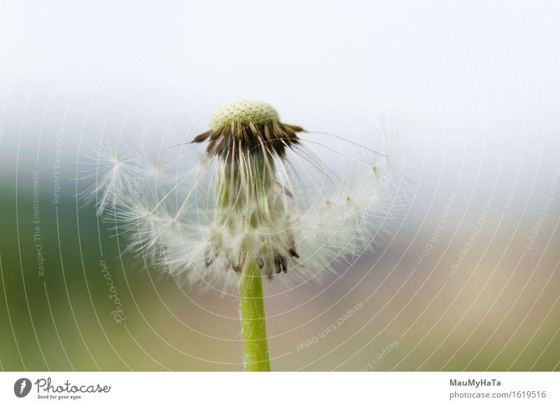Löwenzahn Natur Pflanze Sommer Schönes Wetter Blume Gras Wildpflanze Garten Park Feld Wald Energie Fortschritt Zufriedenheit Idee Optimismus Preisschild