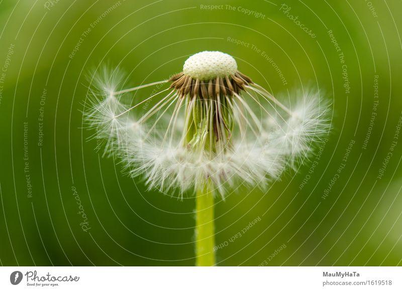 Löwenzahn Natur Pflanze Erde Sommer Blume Gras Blüte Wildpflanze Garten Park Feld Wald Erholung Fortschritt Freiheit Zufriedenheit verlieren