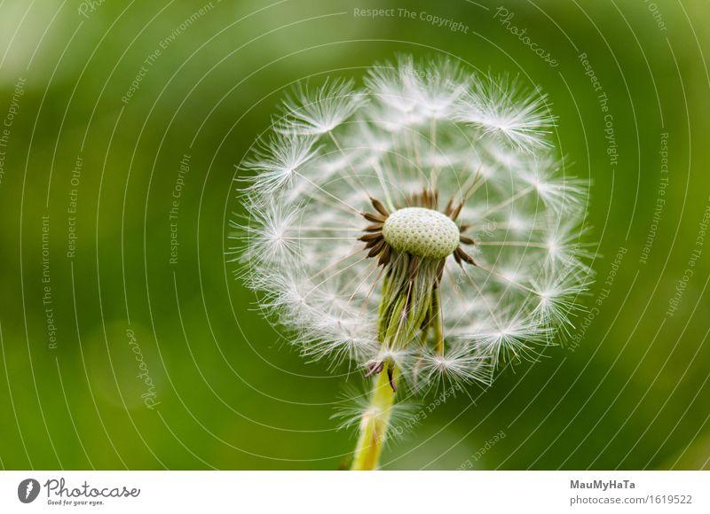 Löwenzahn Natur Pflanze Sommer Klima Schönes Wetter Blume Gras Blüte Wildpflanze Garten Park Feld Wald Geschwindigkeit Zufriedenheit Horizont Idee Kunst Zeit