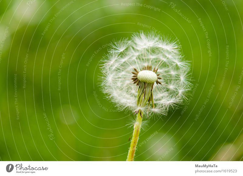 Löwenzahn Natur Pflanze Sommer Klima Blume Gras Blüte Wildpflanze Garten Park Feld Wald Gefühle Fröhlichkeit Frühlingsgefühle Euphorie Coolness Optimismus