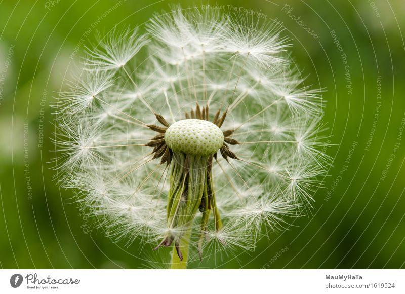 Löwenzahn Natur Pflanze Sommer Schönes Wetter Blume Gras Blüte Garten Park Feld Wald Fröhlichkeit Euphorie Coolness Optimismus Tatkraft schön Farbfoto