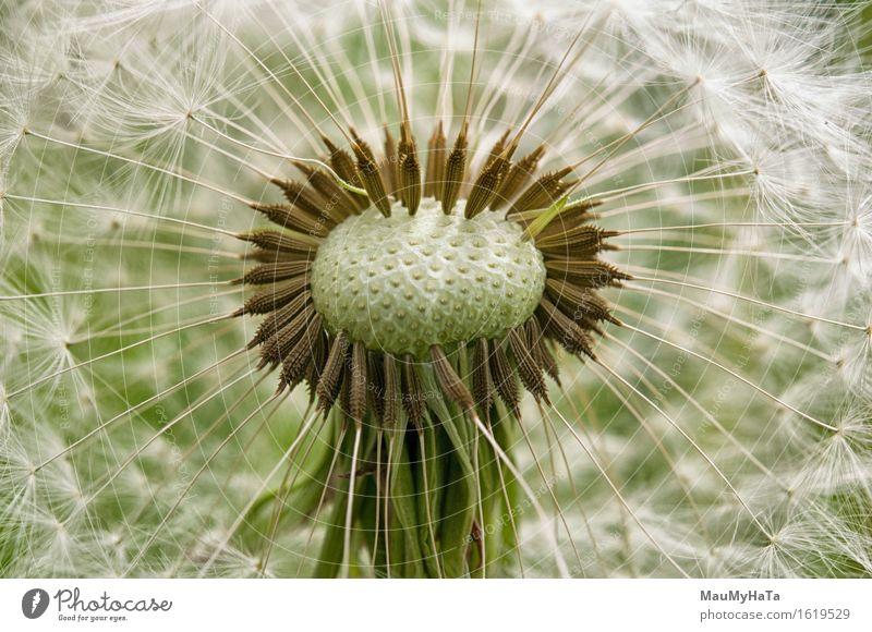 Löwenzahn Natur Pflanze Sommer Schönes Wetter Blume Gras Blüte Garten Park Feld Wald Abenteuer chaotisch Ende Erfolg Fortschritt Freiheit Gefühle Farbfoto