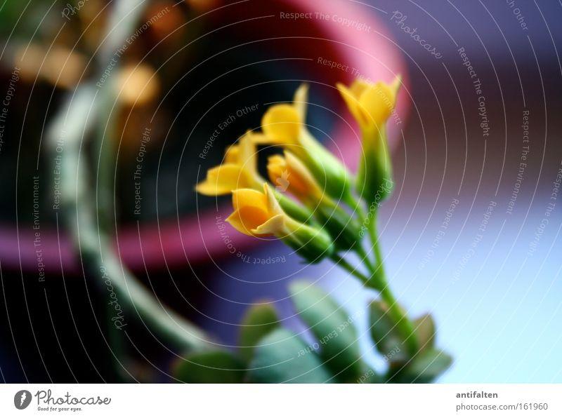 Topfpflanze schön Dekoration & Verzierung Pflanze Frühling Blume Blüte Blühend gelb grün rot Blumentopf Fensterbrett Farbfoto Menschenleer Innenaufnahme