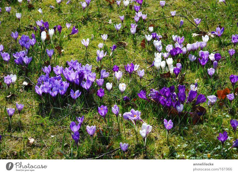 Krokuswiese Krokusse Frühling Wiese Gras Blume Blüte zart filigran Blühend Natur violett verteilt Park