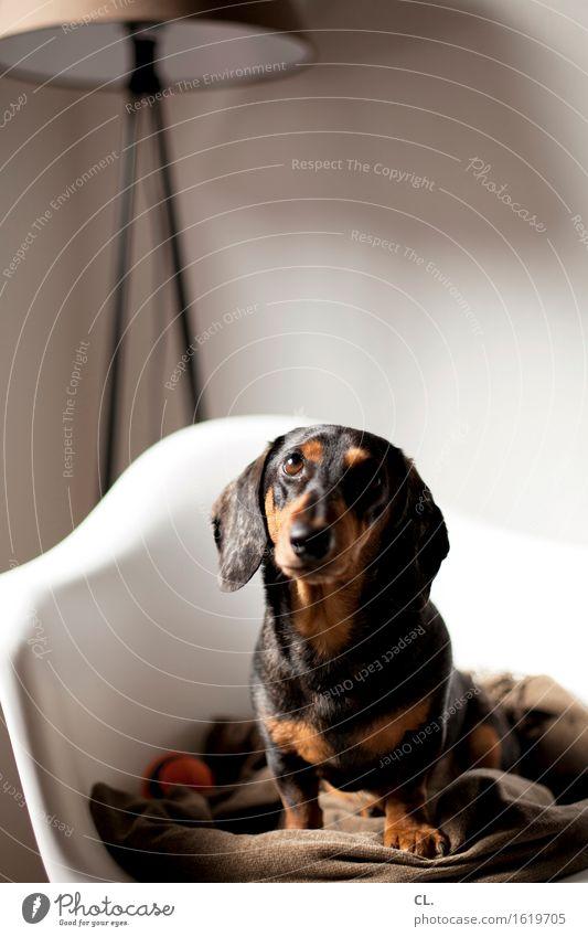 carlson Häusliches Leben Wohnung Dekoration & Verzierung Möbel Lampe Stuhl Raum Tier Hund Tiergesicht Dackel 1 Ball Decke beobachten sitzen Neugier niedlich