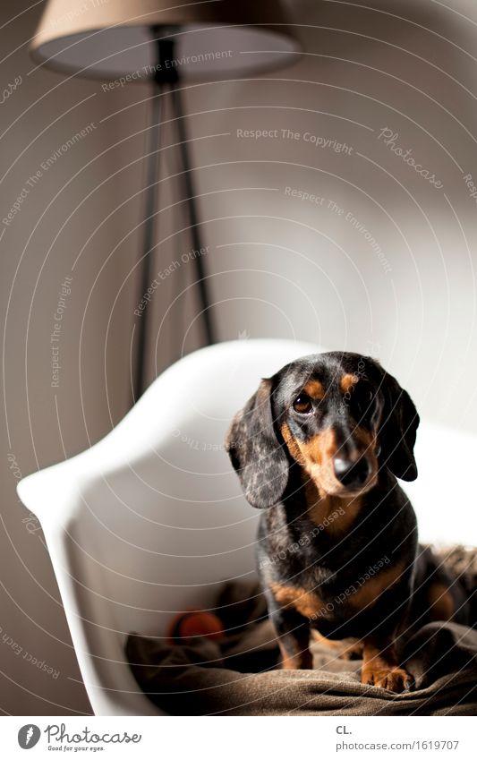 carlson Häusliches Leben Wohnung Innenarchitektur Dekoration & Verzierung Möbel Lampe Stuhl Raum Tier Haustier Hund Tiergesicht Dackel 1 Decke beobachten