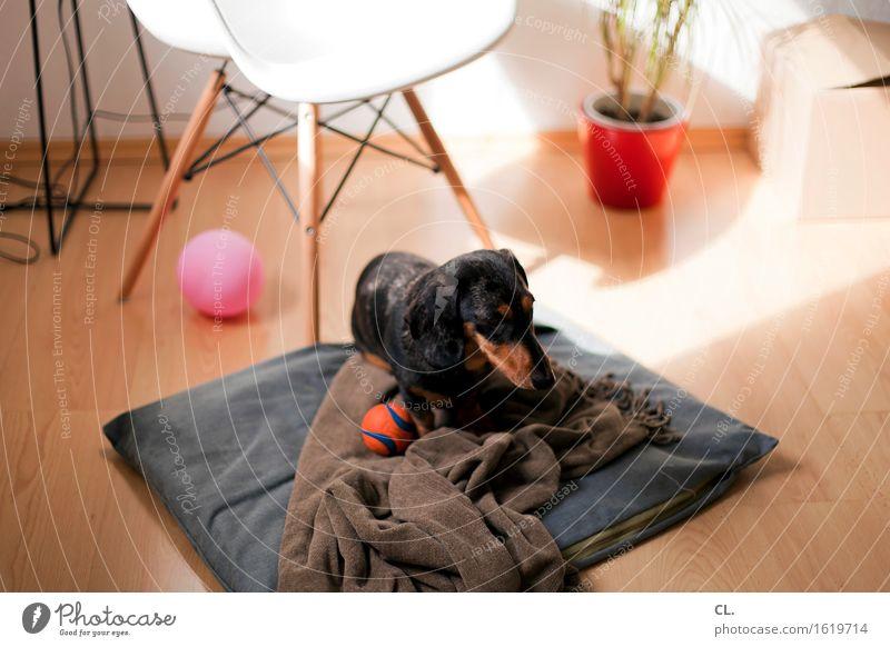 ab auf deinen platz Spielen Häusliches Leben Wohnung Innenarchitektur Dekoration & Verzierung Möbel Stuhl Raum Tier Haustier Hund Dackel 1 Luftballon Ball Decke