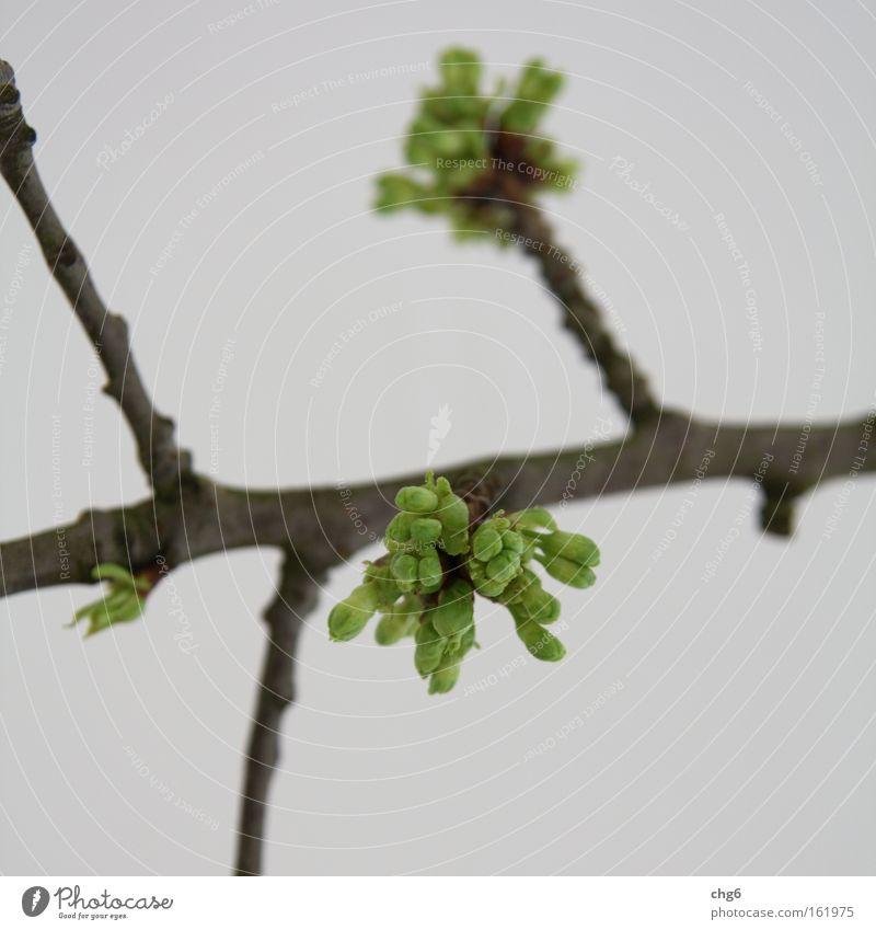 Knospen sprießen aus dem Ast Blütenknospen Blattknospe Zweig grün braun weiß Detailaufnahme Frühling Wachstum grünen abstrakt Unschärfe