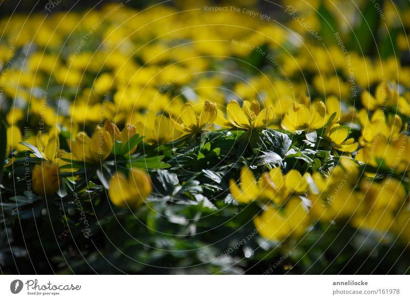 gelbes Blütenmeer Pflanze Frühling Blume viele grün Winterlinge Frühblüher zart Wachstum sprießen Farbfoto Nahaufnahme Menschenleer Textfreiraum oben