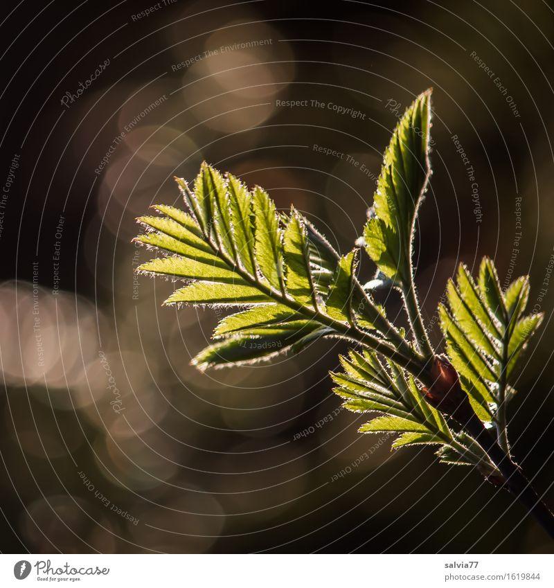 Gefiedert Natur Pflanze Frühling Baum Sträucher Blatt Zweige u. Äste Wald ästhetisch hell braun grün silber Hoffnung Glaube Beginn Idylle Symmetrie Wachstum