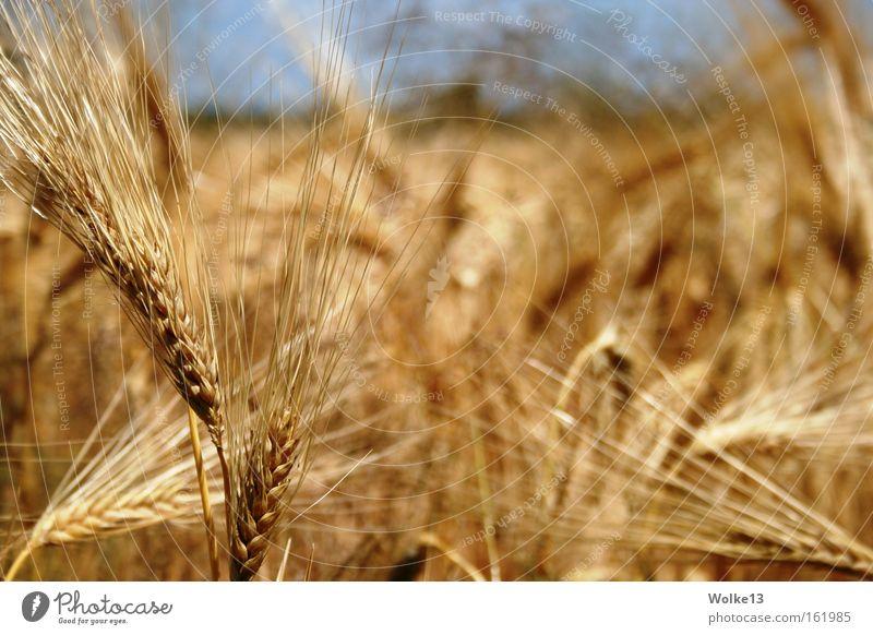 Goldene Weite Natur Himmel Herbst gold Getreide Landwirtschaft Ernte Kornfeld Ähren