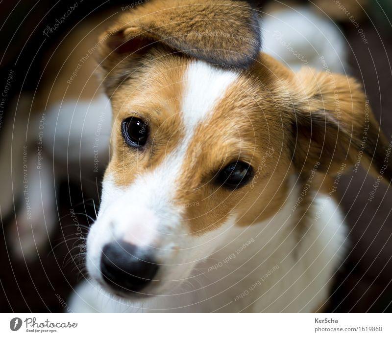 Terrierwelpe Haustier Hund Tiergesicht Fell 1 Tierjunges genießen liegen Blick frech Freundlichkeit kuschlig klein natürlich Neugier niedlich Sauberkeit braun