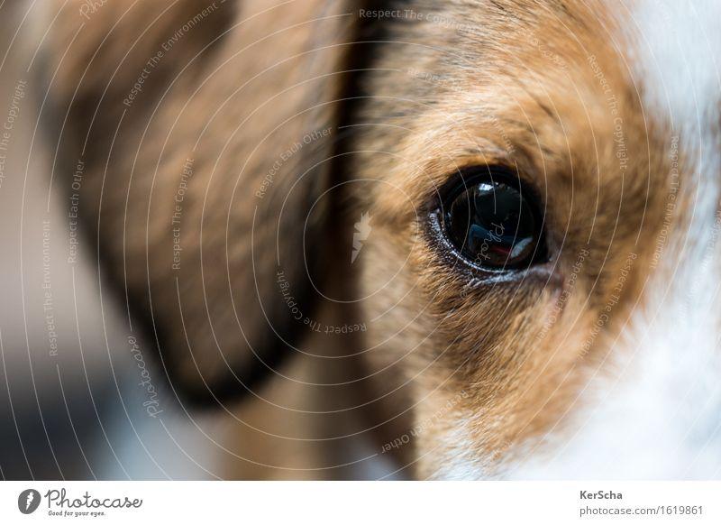 Terrierauge Tier Haustier Hund 1 Tierjunges Blick authentisch braun weiß loyal Warmherzigkeit Sympathie Freundschaft Tierliebe Ehrlichkeit ästhetisch