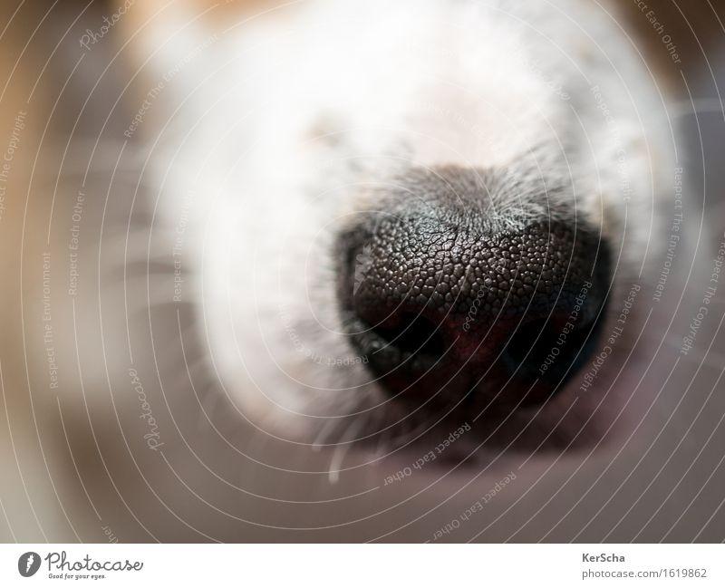 Hundenase Tier Haustier Terrier 1 Tierjunges entdecken braun schwarz weiß Vertrauen Geborgenheit Sympathie Farbfoto Gedeckte Farben Innenaufnahme Nahaufnahme