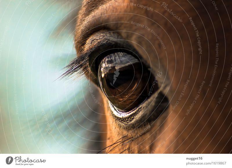 the eye Tier Nutztier Pferd Fell 1 Gefühle Stimmung Tierliebe friedlich Ehrlichkeit Leben ästhetisch Freundschaft Natur schön Farbfoto Außenaufnahme