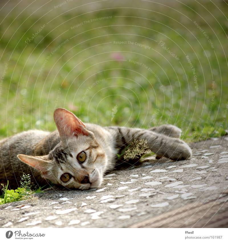 Lethargie Tier Wiese Gras Traurigkeit Katze Zufriedenheit Müdigkeit Langeweile gemütlich Säugetier Schwäche bequem Erschöpfung Trägheit lethargisch