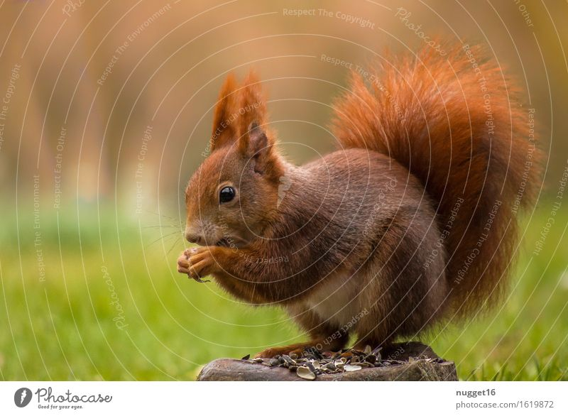 Squirrel Tier Wildtier Tiergesicht Fell 1 Fressen sitzen träumen ästhetisch schön kuschlig natürlich niedlich gelb grün orange Zufriedenheit Vertrauen