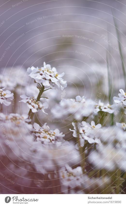 Blumentraum Natur Frühling Pflanze Blüte Garten weich ruhig Außenaufnahme Nahaufnahme Makroaufnahme Textfreiraum oben Tag Starke Tiefenschärfe