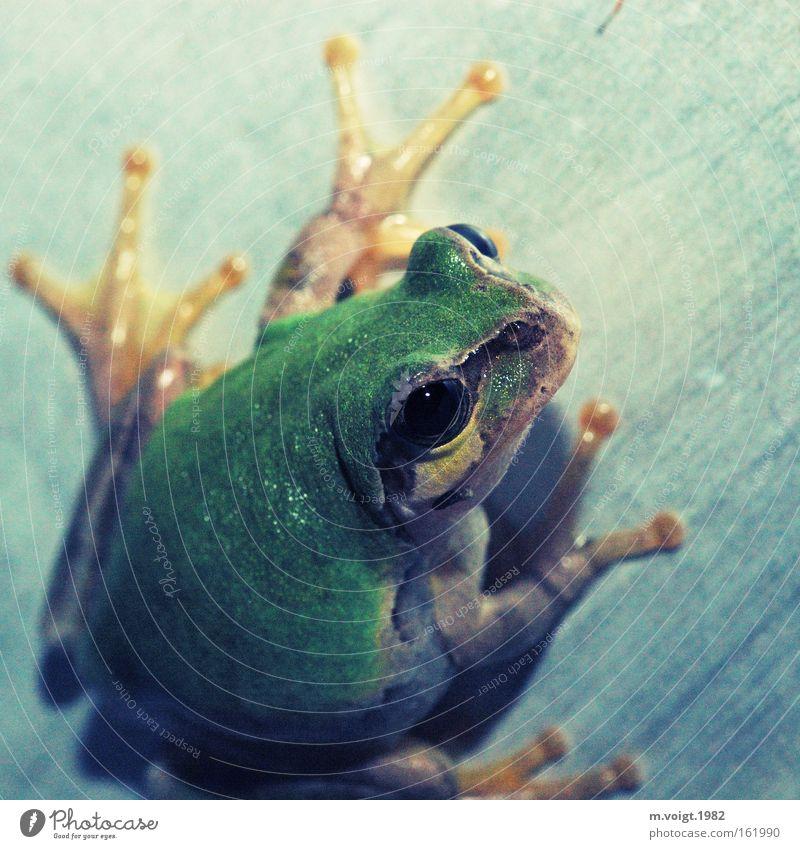 Überrascht grün Auge Wand Metall Tierfuß retro Klettern Frosch kleben Laubfrosch Lurch Amphibie