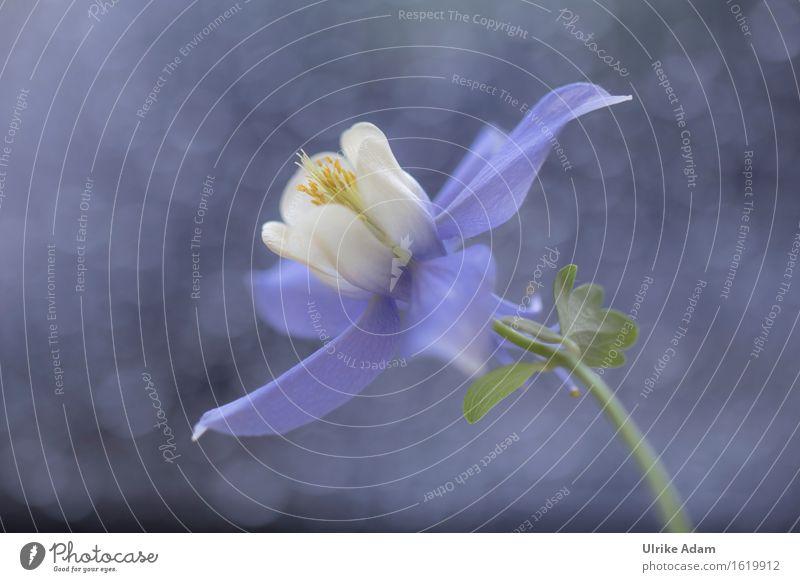 Akelei Natur blau Pflanze weiß Blume Innenarchitektur Frühling Blüte Wiese natürlich Kunst Garten Park wild Dekoration & Verzierung frisch