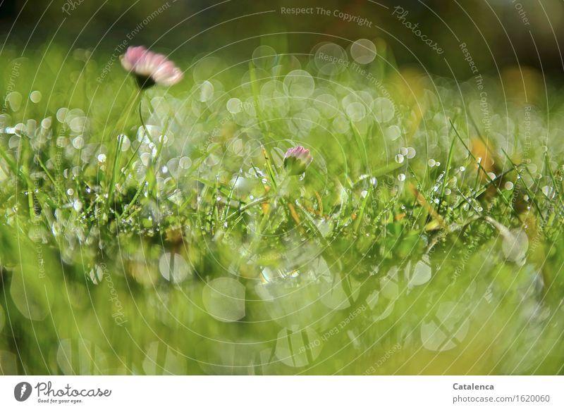 Funkeln im Gras Natur Pflanze Wassertropfen Sonne Schönes Wetter Blume Gänseblümchen Garten Wiese Bewegung Duft glänzend verblüht Wachstum ästhetisch frisch