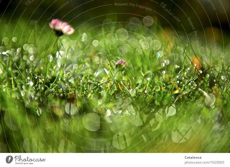Grasglitzern Natur Pflanze Wassertropfen Schönes Wetter Blume Gänseblümchen Erholung glänzend verblüht Wachstum ästhetisch einfach positiv schön gold grün rosa