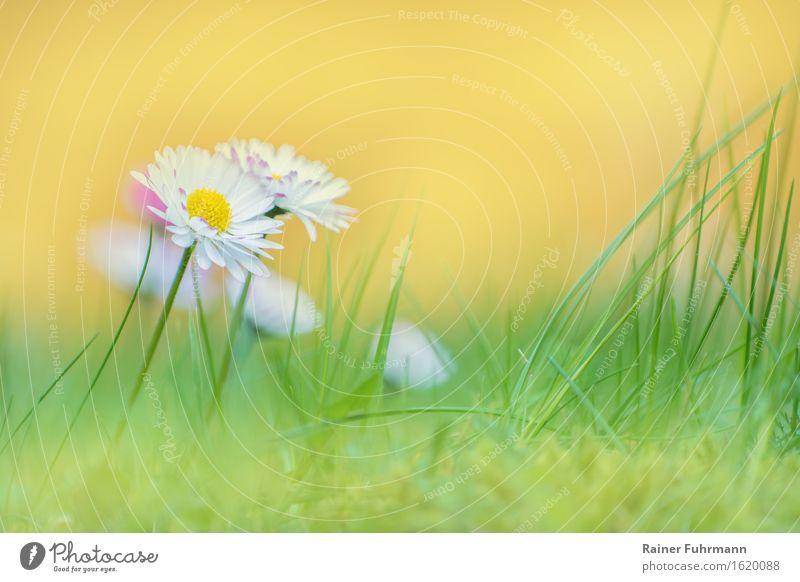 """Gänseblümchenwiese Umwelt Natur Pflanze Frühling Blume Wiese """"Blüten Rasen Sonne sanft weich hell freundlich Gras Liegewiese"""" Farbfoto Außenaufnahme Tag"""