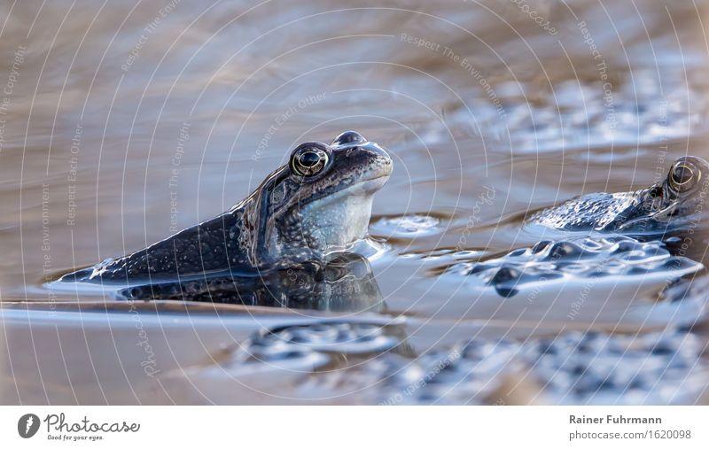 """Moorfrösche bei der Familienplanung Umwelt Natur Tier Wasser Frühling Teich Frosch Moorfrosch 1 Brunft Liebe Schwimmen & Baden """"Laich Laichzeit Tümpel Eier blau"""