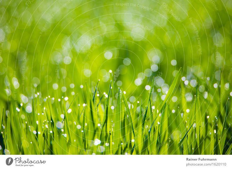 """Morgentau glitzert auf frischem Grün Natur Landschaft Pflanze Wassertropfen Park Wiese Feld ästhetisch """"Saat Tautropfen glitzern,"""" Farbfoto Nahaufnahme"""