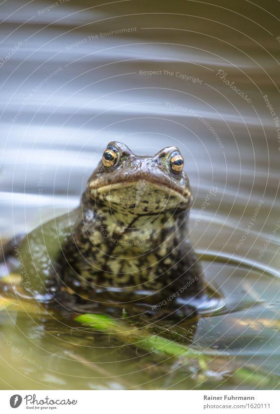 """Ein Erdkrötenmann schaut dem Fotografen interessiert zu Wasser Frühling Park Wald Moor Sumpf Tier """"Kröte Erdkröte"""" 1 Natur """"Paarung Laichzeit Vermehrung"""