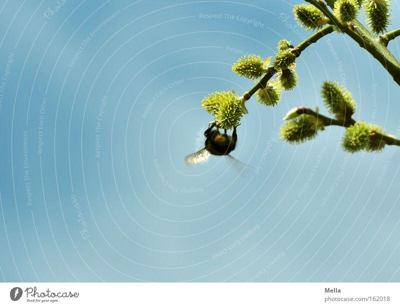 Gleichgewichtsübung blau Erholung Frühling Arbeit & Erwerbstätigkeit Flügel Insekt Sammlung hängen Pollen Biene fleißig Hummel