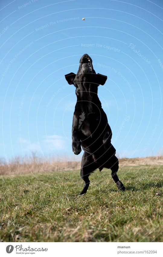 Maitanz Hund Freude Spielen Bewegung springen Gesundheit Bildung Fitness sportlich Haustier Berufsausbildung hüpfen üben gehorsam Tiertraining