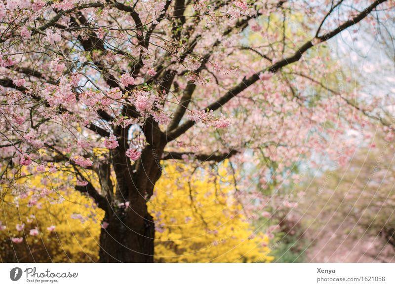 Blütenmeer Umwelt Natur Pflanze Baum Sträucher Garten gelb rosa Frühlingsgefühle zart Romantik Außenaufnahme Menschenleer Textfreiraum rechts Tag
