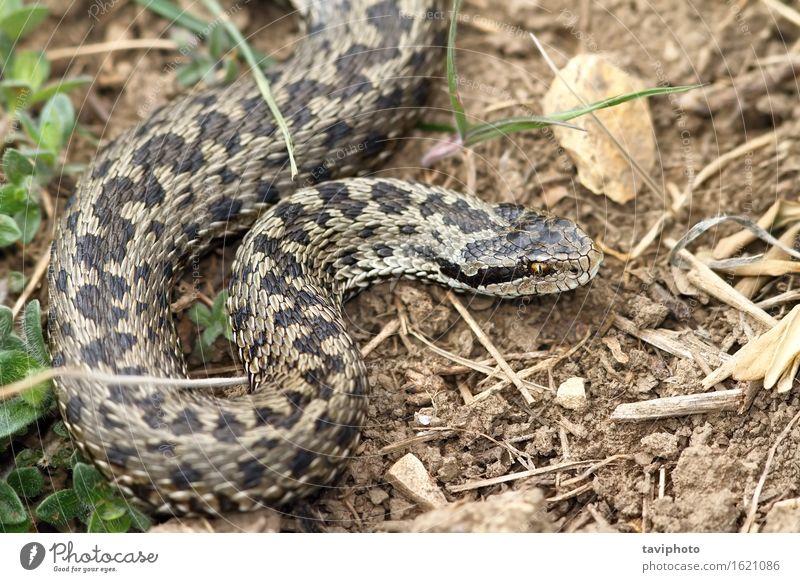 weibliche Wiesenviper im natürlichen Lebensraum schön Frau Erwachsene Natur Tier Gras Schlange einzigartig wild braun Angst gefährlich Natter Vipera ursinii