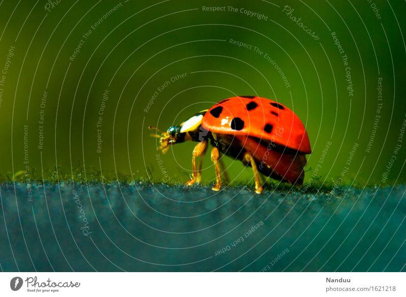Startklar Wildtier Käfer Marienkäfer heimisch niedlich 1 Tier Glücksbringer rot Volksglaube Abheben Natur Sommer Frühling Farbfoto mehrfarbig Außenaufnahme