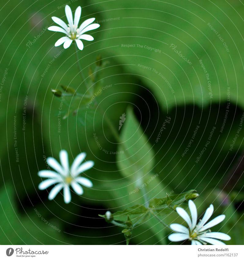 Blümchen weiß grün Pflanze Sommer Blume Berge u. Gebirge Blüte Stengel feucht zierlich Besenstiel Waldrand