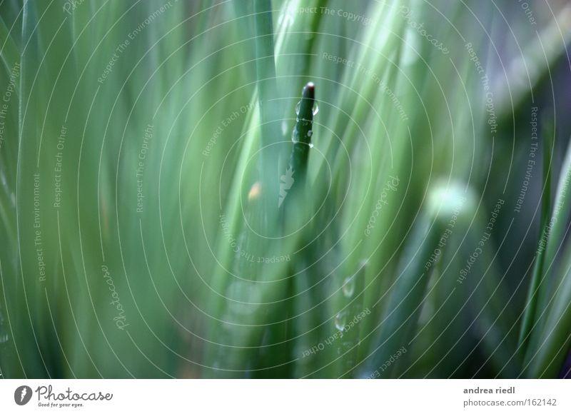 Der der raussticht Natur grün Kräuter & Gewürze Wassertropfen Urelemente einzigartig herausragen Porree Makroaufnahme Nahaufnahme aus der Reihe tanzen