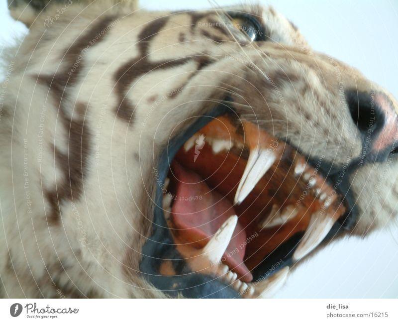 zaehne Angst Gebiss schreien Tier Katze Raubkatze