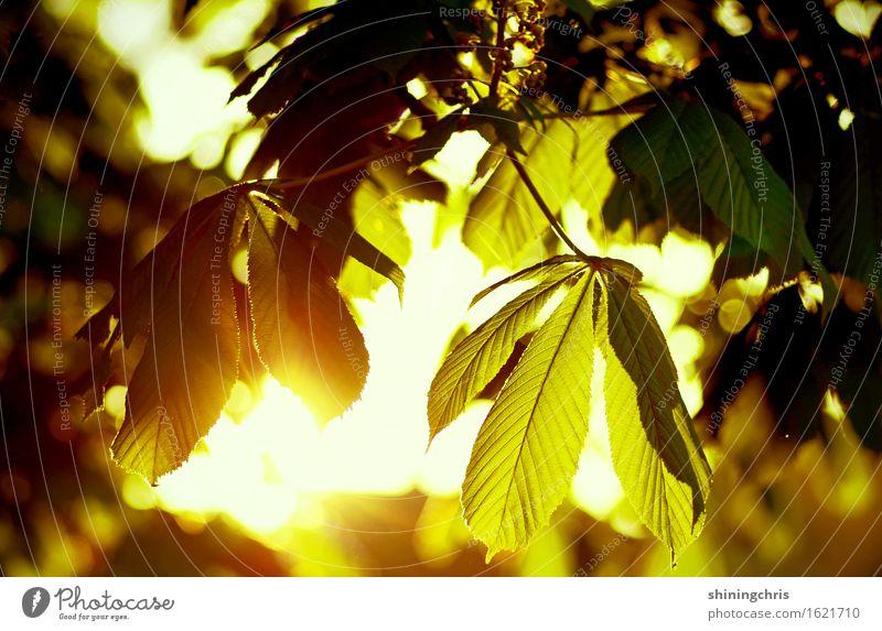 morgenstund' Umwelt Sonne Sonnenaufgang Sonnenuntergang Sommer Klima Schönes Wetter Baum Blatt Kastanienbaum Garten Park leuchten gelb gold grün Lebensfreude