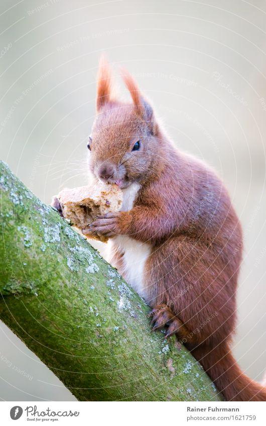"""ein Eichhörnchen hat sich ein Stück Brot geklaut Tier Wildtier 1 Essen Fressen Natur """"sitzen knabbern Baumstamm Ast wild Freiheit,"""" Farbfoto Außenaufnahme Blick"""
