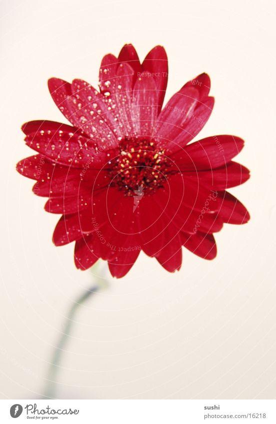 Gerbera Blume Perspektive